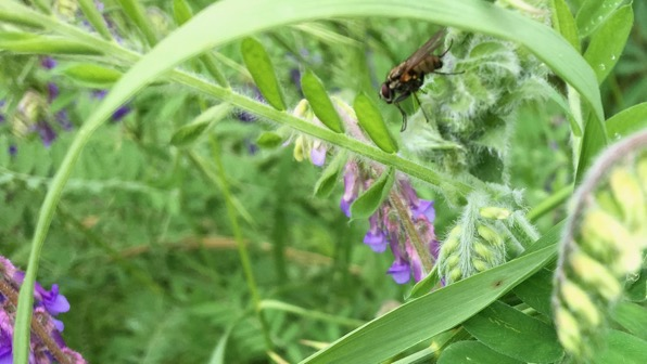Vetch fly