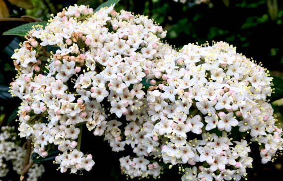 Viburnum in bloom