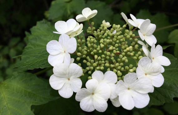 Viburnum spp