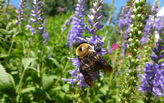 Waldo bumblebee on purple fleur
