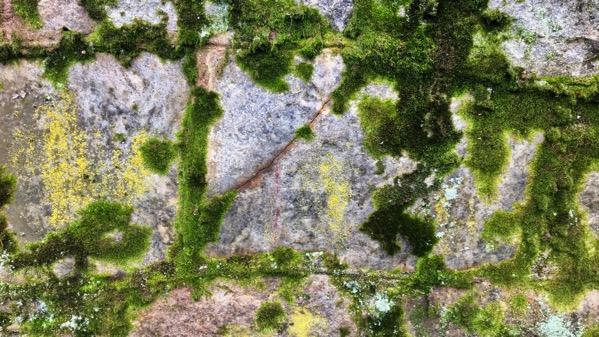 Wall moss lichen