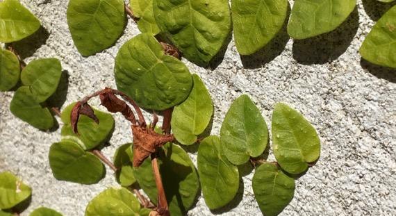 Wall vine