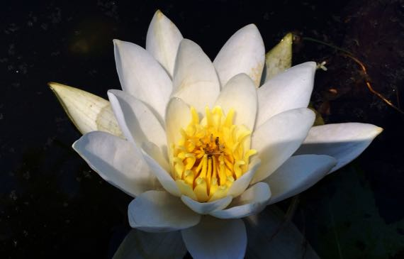 Water lily ABG