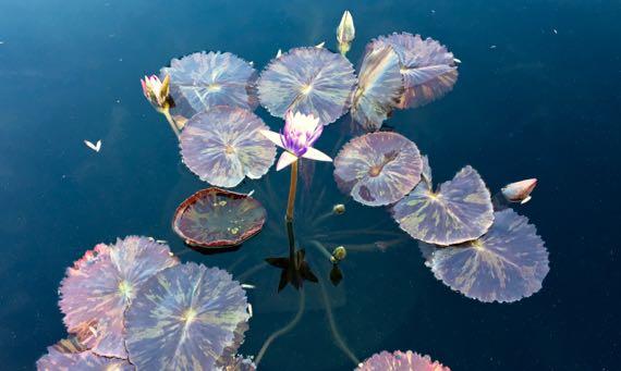 Waterlilies of autumn