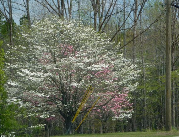 White and pink dogwoods in appalachia