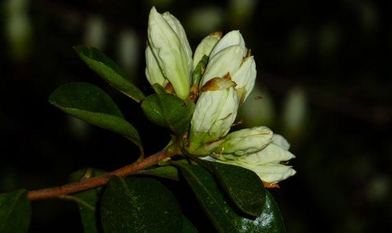 White azalea a budding mar 2011