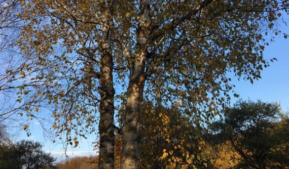 White birch duo