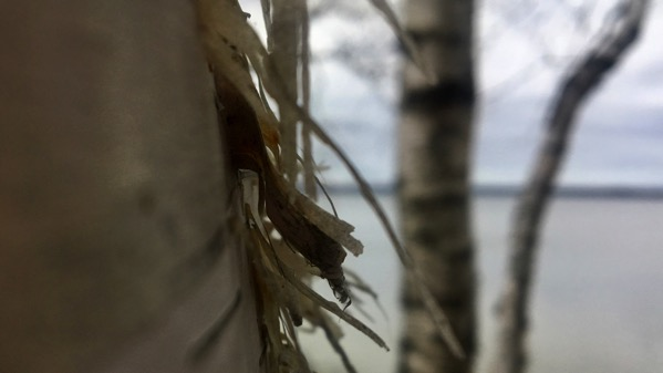 White birch feathers