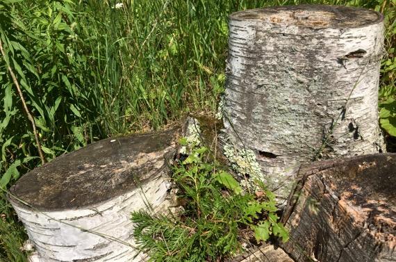White birch stumps