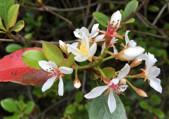 White blooming shrub