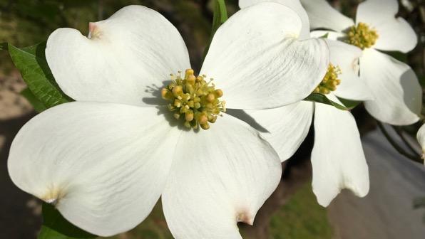 White dogwood fleur