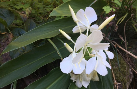 White ginger flower cluster