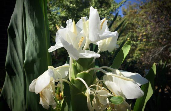 White ginger flower cluster