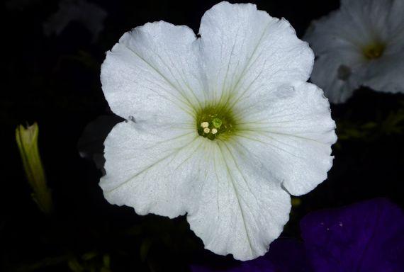 White petunia at night