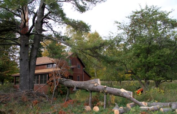 White pine situation