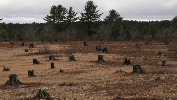 White pine stumps