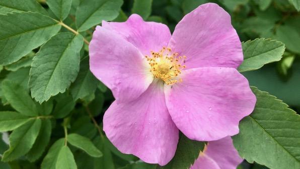 Wild maybe rose