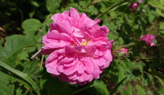 Wild rose may not be