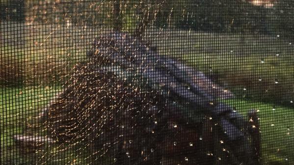 Windowscreen cobweb