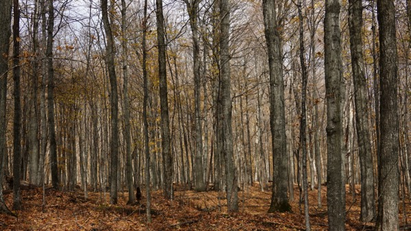 Woods sentinels