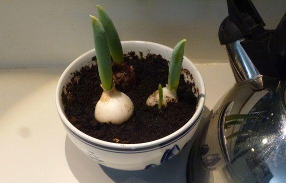 Worlds slowest tulips