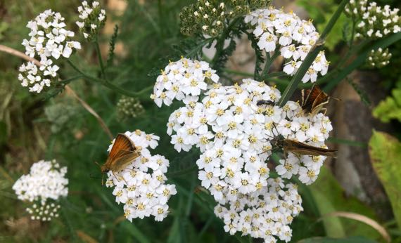 Yarrow and flutterers