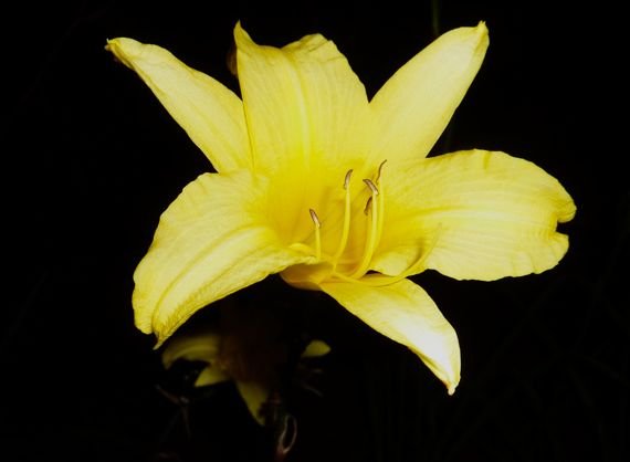 yellow_lily_of_the_night_valley.jpg
