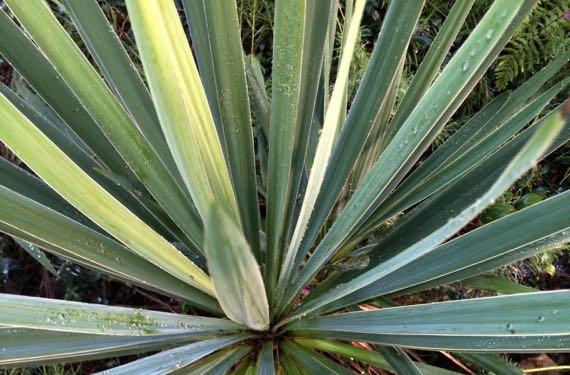 Yucca bayonets