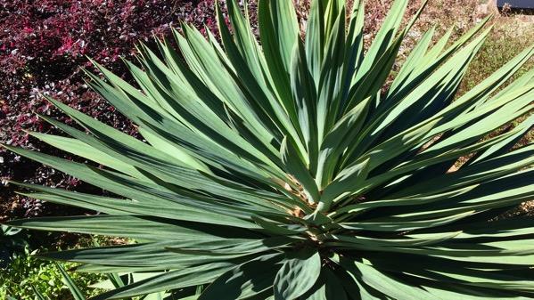 Yucca d yard