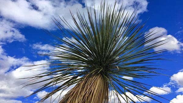 Yucca top